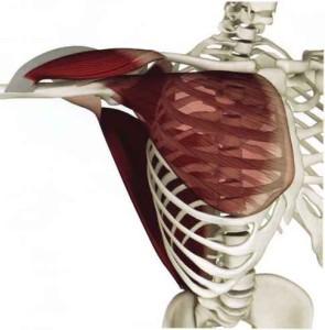 1901_195_409-deltoid-posterior